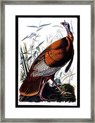 Wild Male Turkey Framed Print by Celestial Images