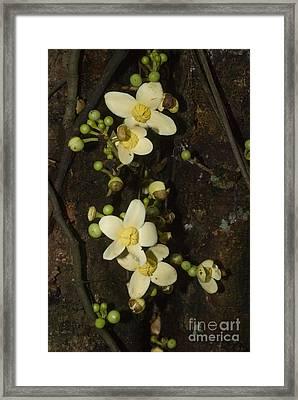 Wild Mango Grias Neuberthii Framed Print by William H. Mullins