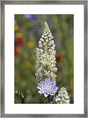 Wild Mignonette Flower Framed Print by George Atsametakis