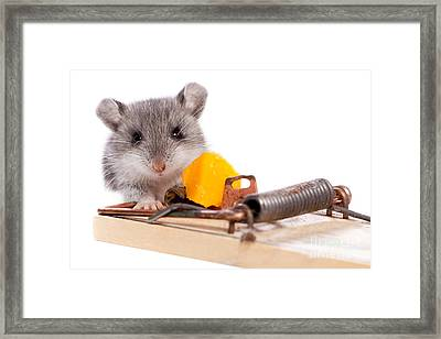 Wild Mouse And Mousetrap With Cheese Close Up Isolated Framed Print