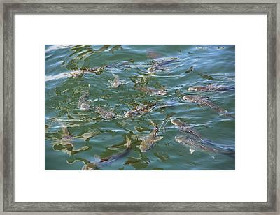 Wild Mullet Feeding Frenzy Framed Print by Max Adams