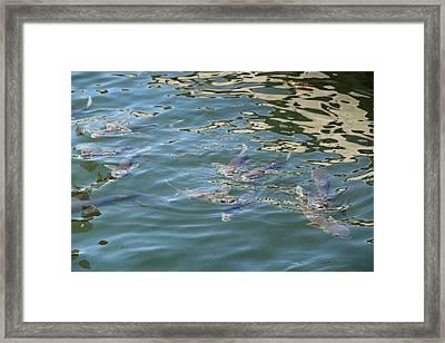 Wild Mullet Fish Framed Print by Max Adams