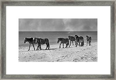 Wild Mustangs Of Shackleford Framed Print by Betsy Knapp
