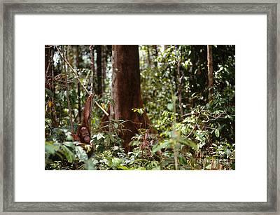 Wild Orangutan Framed Print
