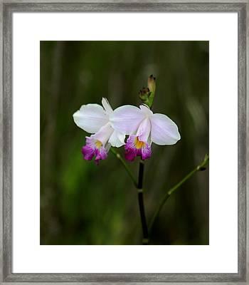 Wild Orchid Framed Print by Pamela Walton