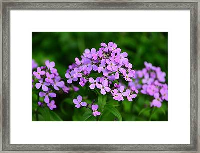 Framed Print featuring the photograph Wild Phlox by Debra Martz