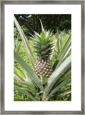 Wild Pineapple Framed Print by Joe Belanger