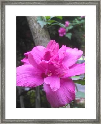 Wild Pink Rose Framed Print by Kim Martin