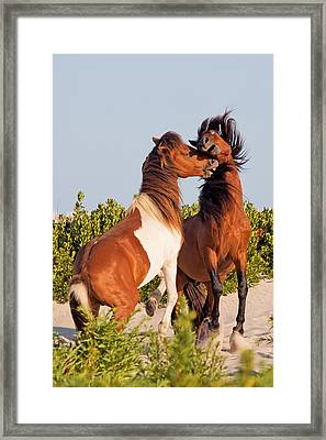 Wild Ponies At Play Framed Print