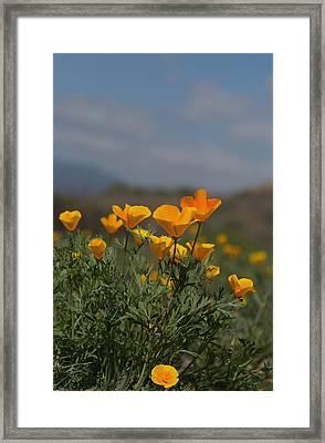 Wild Poppy Framed Print