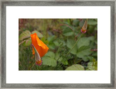Wild Poppy Rain Framed Print by Tim Rice