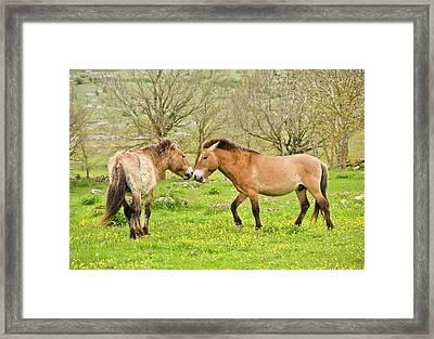 Wild Przewalski's Horses Framed Print by Bob Gibbons