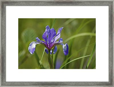 Wild Purple Iris 1 Framed Print