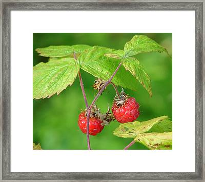 Wild Raspberries Framed Print by Lew Davis