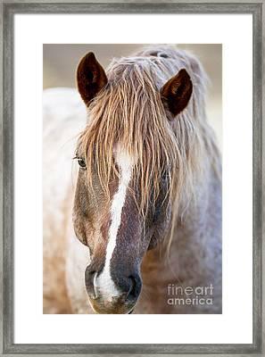 Wild Red Roan Stallion Comes Close Framed Print by Carol Walker
