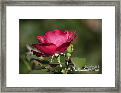 Framed Print featuring the photograph Wild Rose 20120615_205a by Tina Hopkins