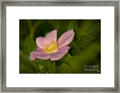 Wild Rose Framed Print by Alana Ranney