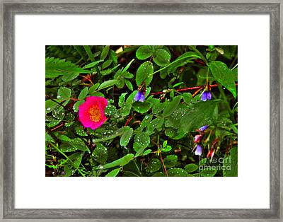 Wild Rose And Bluebell Framed Print