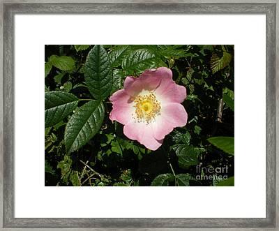 Wild Rose Framed Print by Ann Fellows