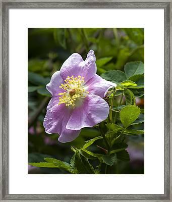 Wild Rose Blossom Framed Print