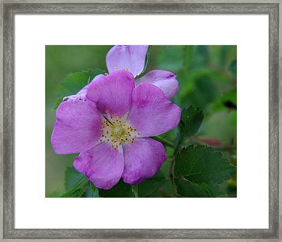 Wild Rose Framed Print by Harvey Dalley