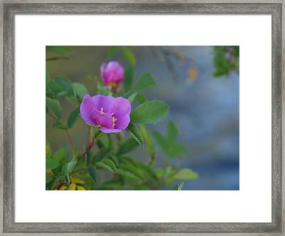 Wild Rose Framed Print by Jenessa Rahn