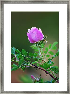 Wild Rose Framed Print by Kimberley Anglesey