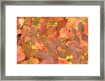 Wild Rose Leaves In Autumn Framed Print by Jim Sauchyn
