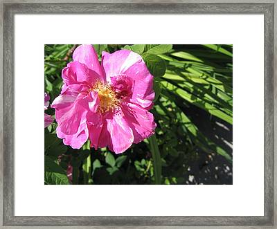Framed Print featuring the photograph Wild Rose by Mary Bedy