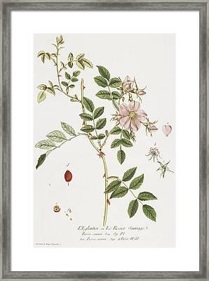 Wild Rose Framed Print by Nicolas Francois Regnault