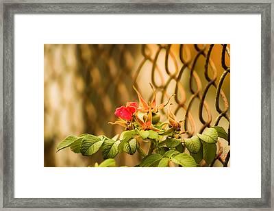 Wild Rose  Framed Print by Paulina Szajek