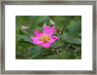 Wild Rose Framed Print