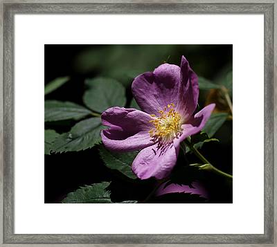 Wild Rose Framed Print by Rona Black