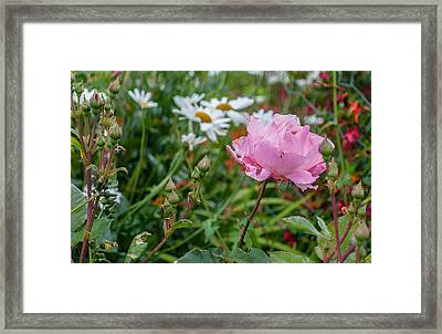 Framed Print featuring the photograph Wild Rose by Sergey Simanovsky