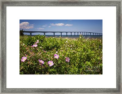 Wild Roses At Confederation Bridge Framed Print