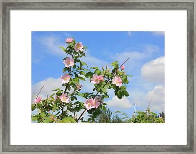 Wild Roses In June Framed Print