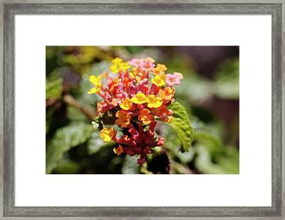 Wild Sage (lantana Camara) In Flower Framed Print