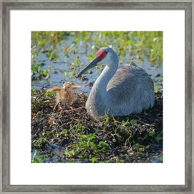 Wild Sandhill Crane Feeding First Colt Framed Print