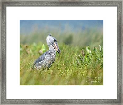 Wild Shoebill Balaeniceps Rex  Framed Print