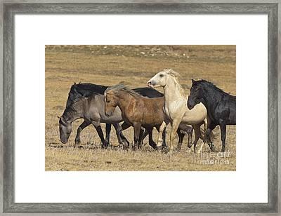 Wild Stallion Herd Pryor Mountain Framed Print
