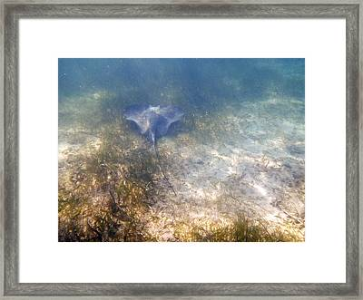 Framed Print featuring the photograph Wild Sting Ray by Eti Reid