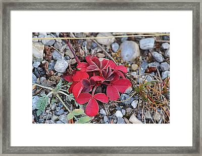 Framed Print featuring the photograph Wild Strawberry by Ann E Robson