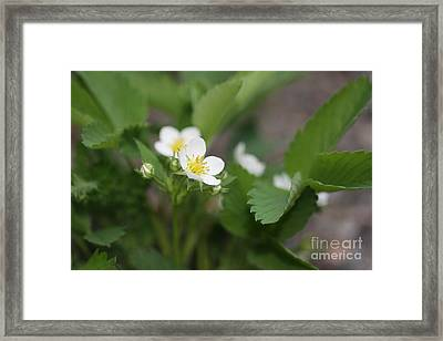 Wild Strawberry Flower Framed Print