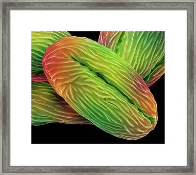 Wild Strawberry Pollen Grains Framed Print