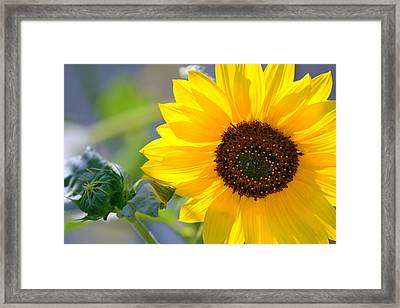 Framed Print featuring the photograph Wild Sunflower by Nadalyn Larsen