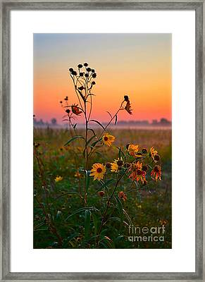 Wild Sunflowers At Dawn Framed Print by Julie Dant