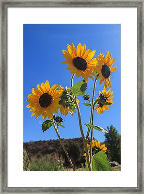 Wild Sunflowers Framed Print by Scott Campbell