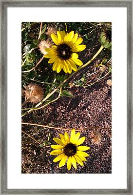 Framed Print featuring the photograph Wild Sunflowers by Fortunate Findings Shirley Dickerson