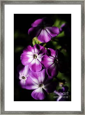 Wild Sweet William In Partial Shadow Framed Print