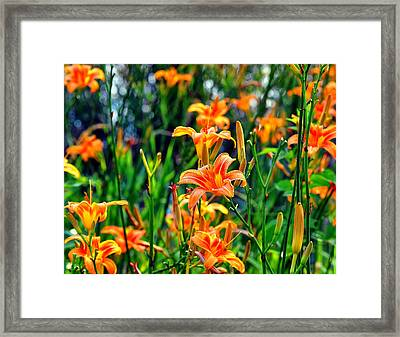 Wild Tiger Lilies Framed Print by Chris Flees